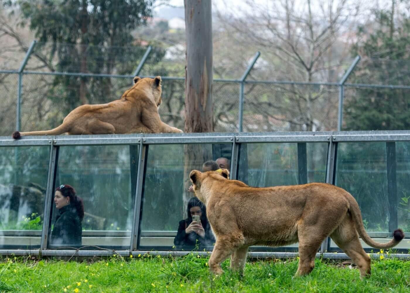 tunel-leoes-zoo-de-santo-inacio-experiencias-com-animais-em-portugal